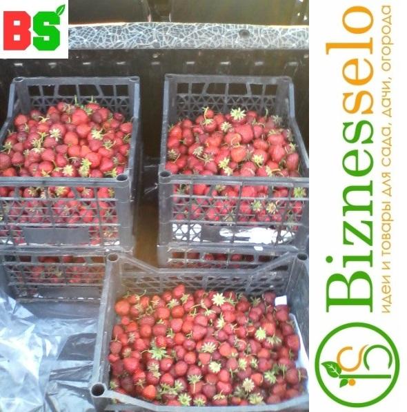 бизнес на клубнике в селе