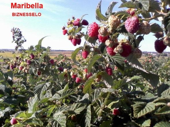 плодоношение Marаbella
