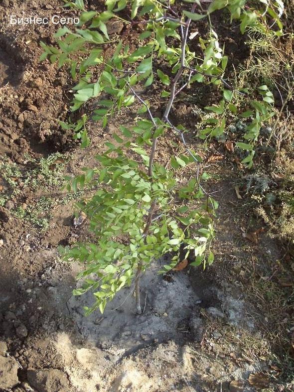 выращивание-унаби-зизифус-10