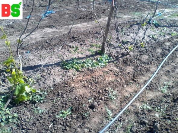 заморозки на винограде