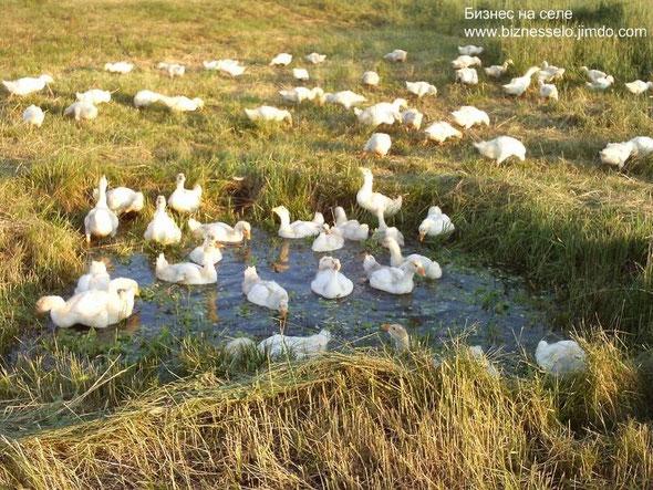 выращивания гусей