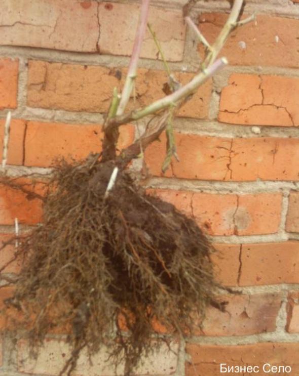 корень малины