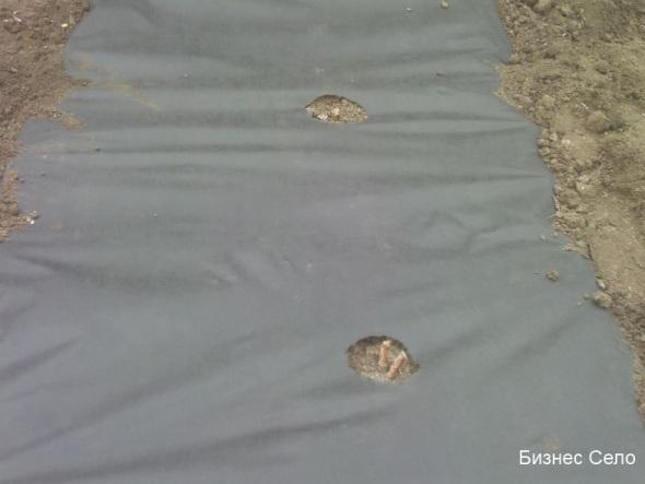 мульчирование малины агроволокном