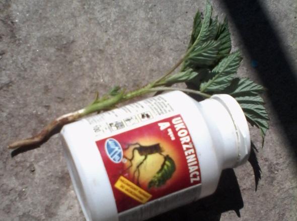 препараты для укоренения саженцев малины