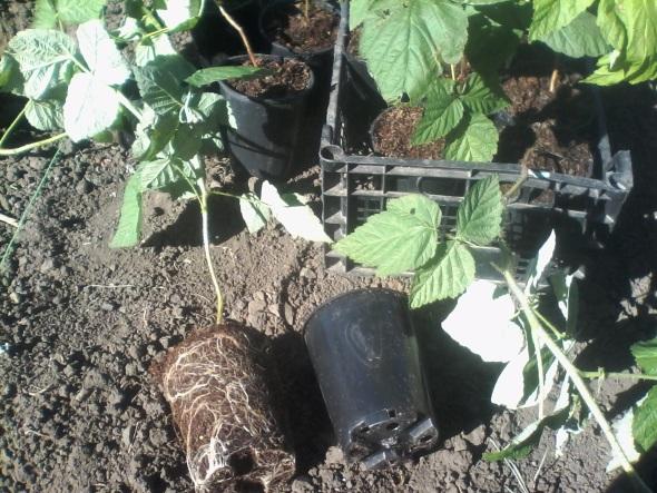ремонтантный сорт малины Красный жемчуг