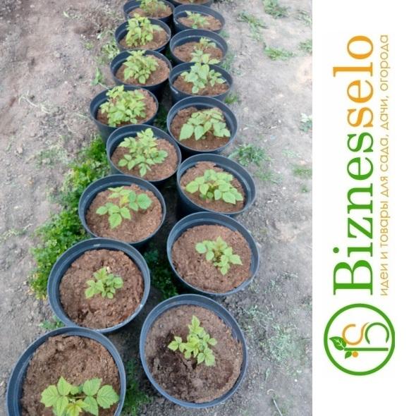 выращивание саженцев малины в больших горшках