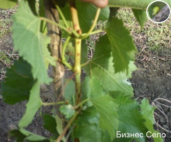 буйволовидная цикадка на винограде