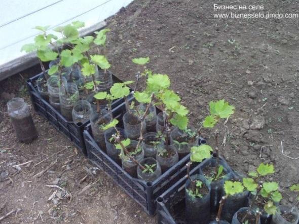 доращивание саженцев винограда в теплице