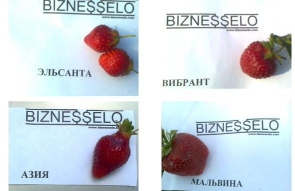 форма ягод земляники