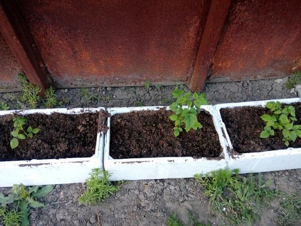 наращивание корневой массы малины