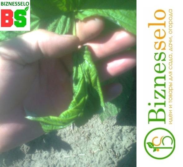 повреждения листьев малины гусеницами