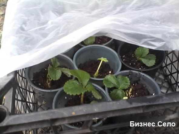 укоренение розеток земляники