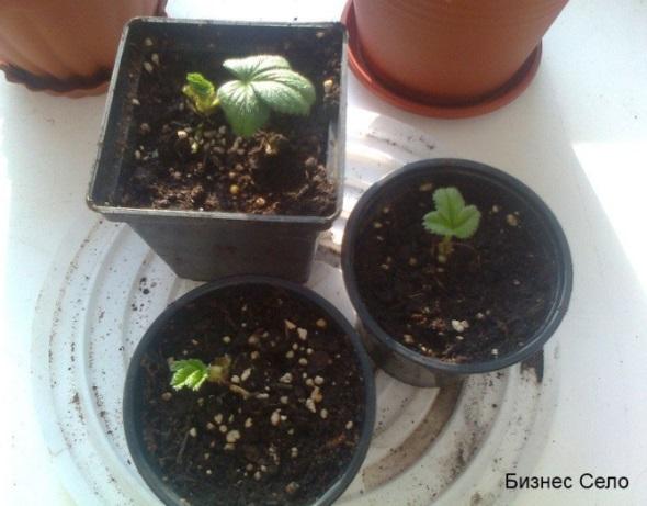 выращивание белой клубники в горшочках