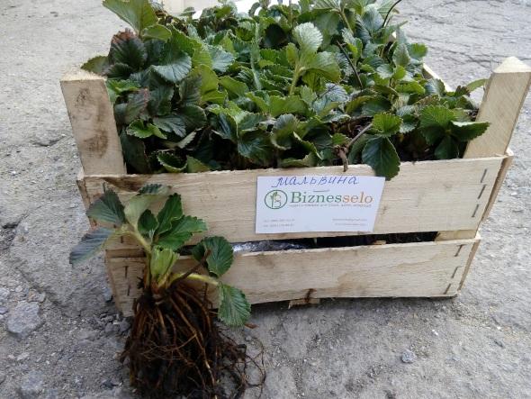 выращивание саженцев клубники