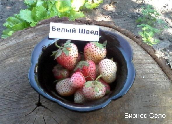 ягода клубники белый швед