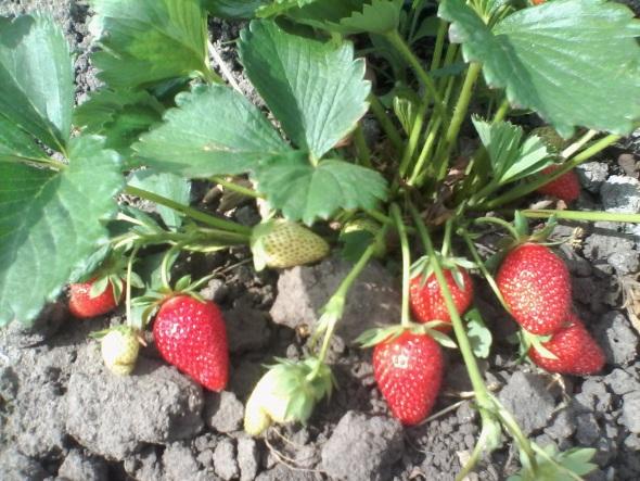 ягода клубники фурор