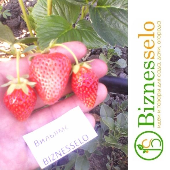 ягода клубники вильямс