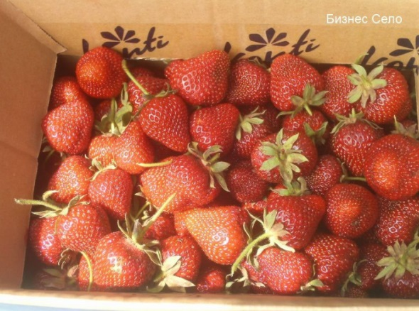 ягода земляники ольвия