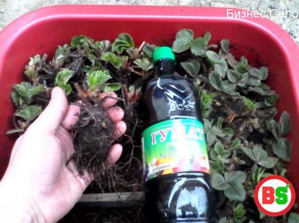 замачивание корней клубники
